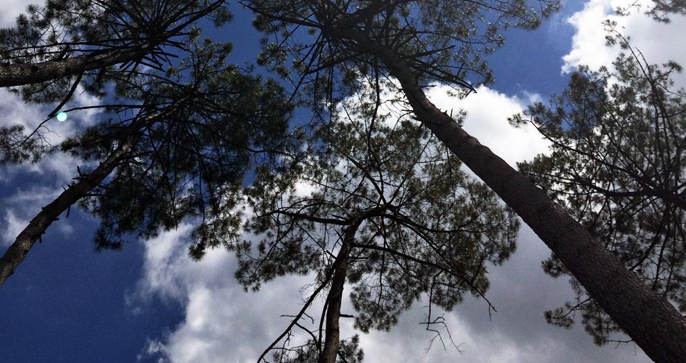 écomusée de Marquèze - les pins