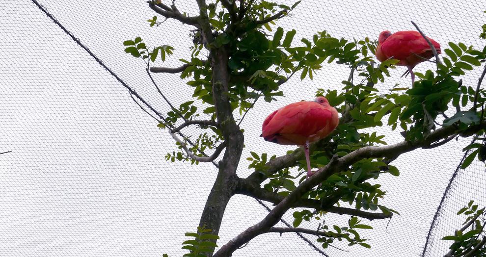 ibis rouge le Pal