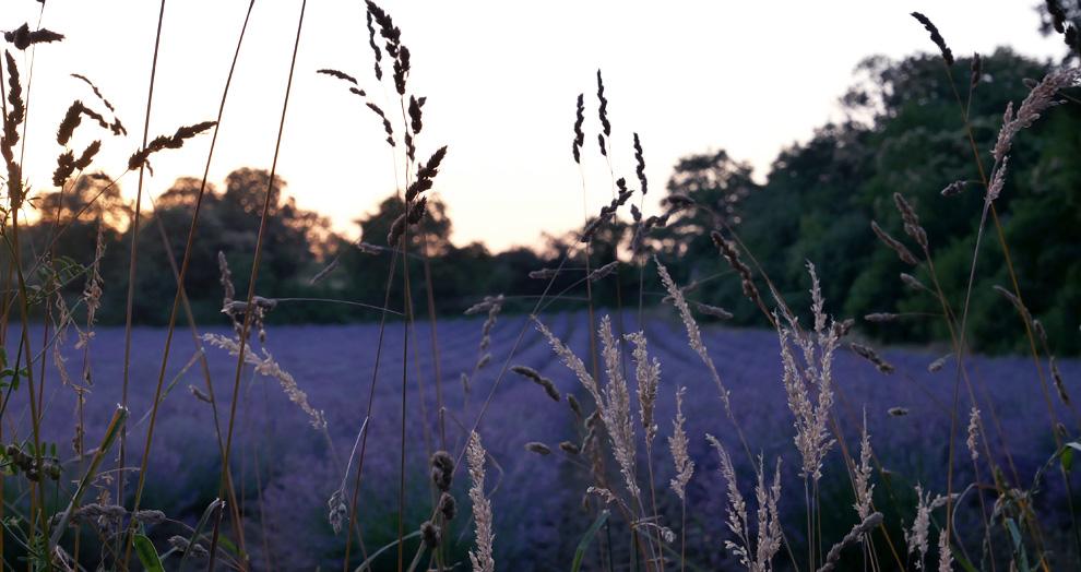 champ de lavande proche Clermont