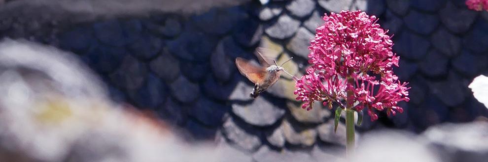 papillon Conques