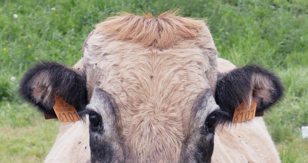 vache Aubrac