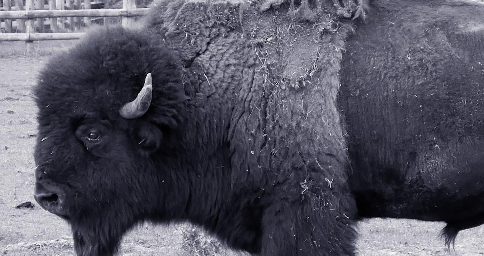 parc du thot bison