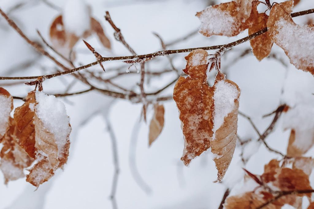 macro feuilles givrées